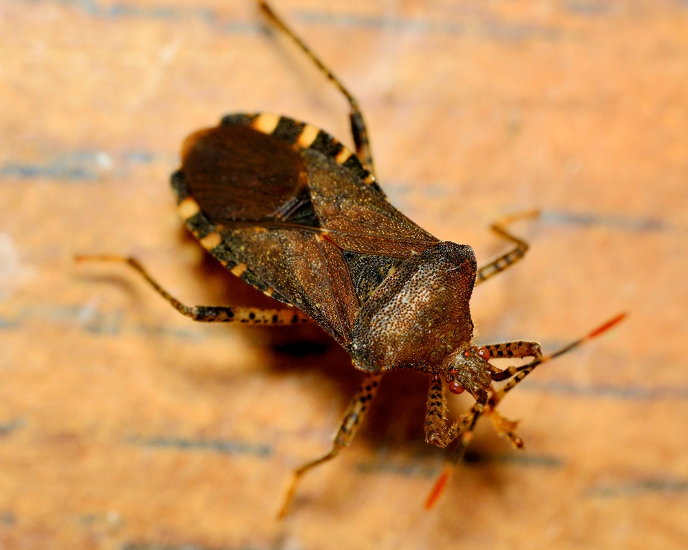 3 tips to prevent stink bug infestations empire termite pest control trenton nearsay. Black Bedroom Furniture Sets. Home Design Ideas