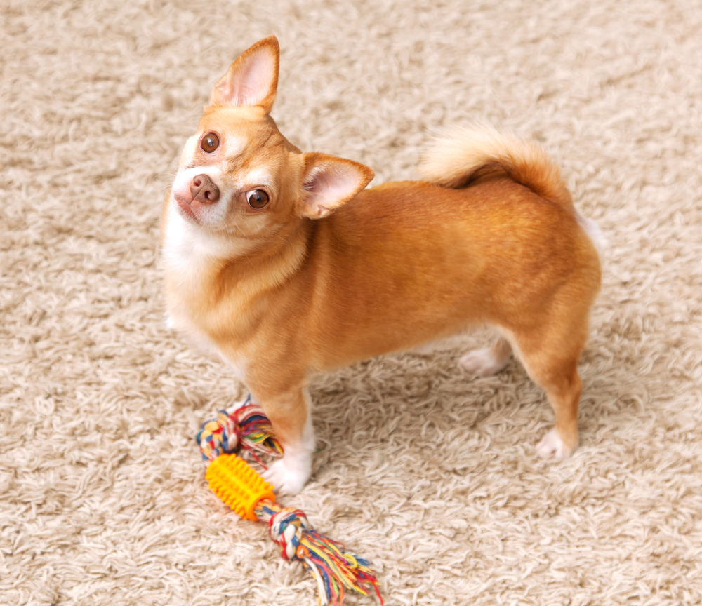 Has Your Pet Had An Accident On The Carpet? Here's What To