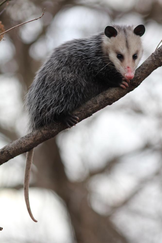 Cincinnati, OH opossum removal