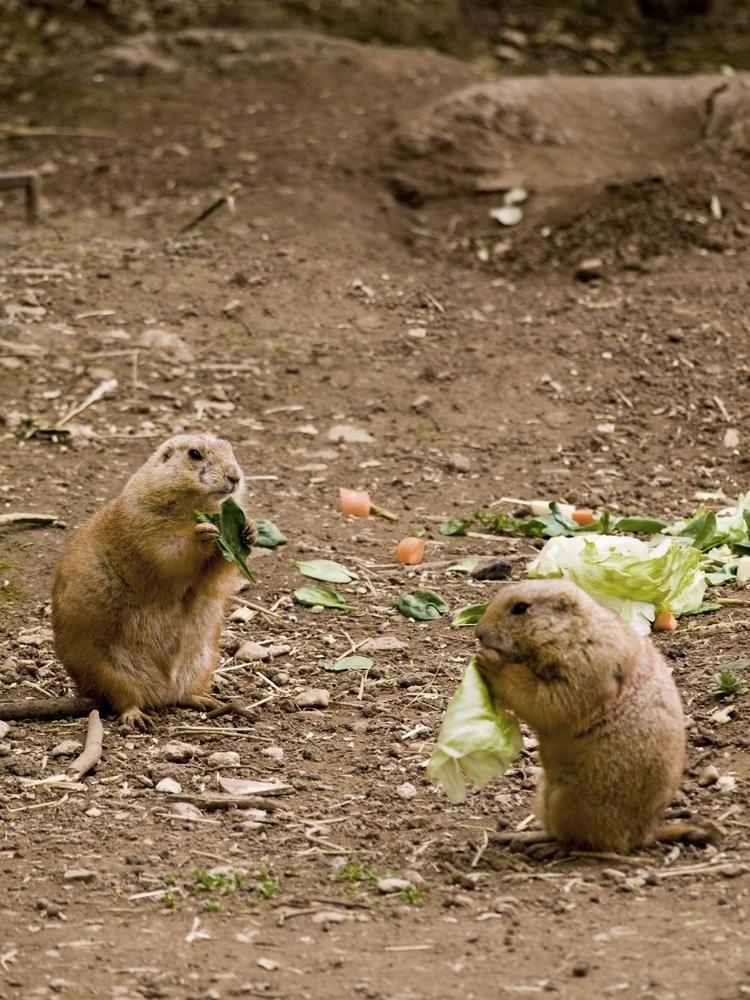 Cincinnati, OH groundhog removal
