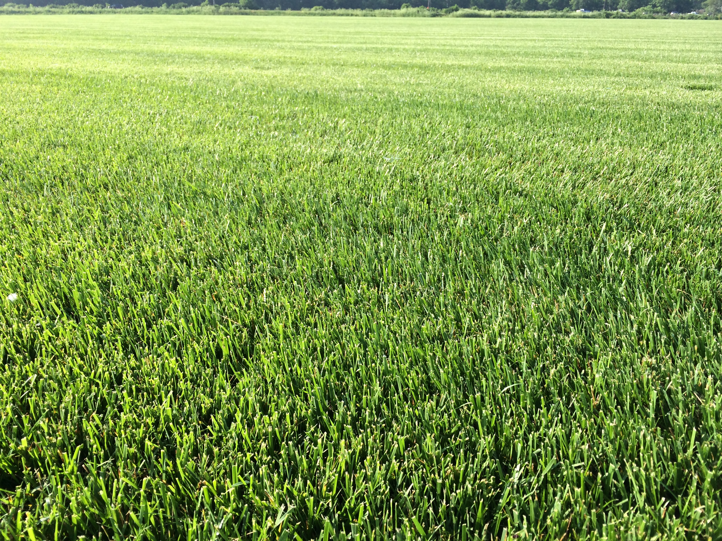 The Pros & Cons of Grass Seed vs  Sod Installation - Turpin