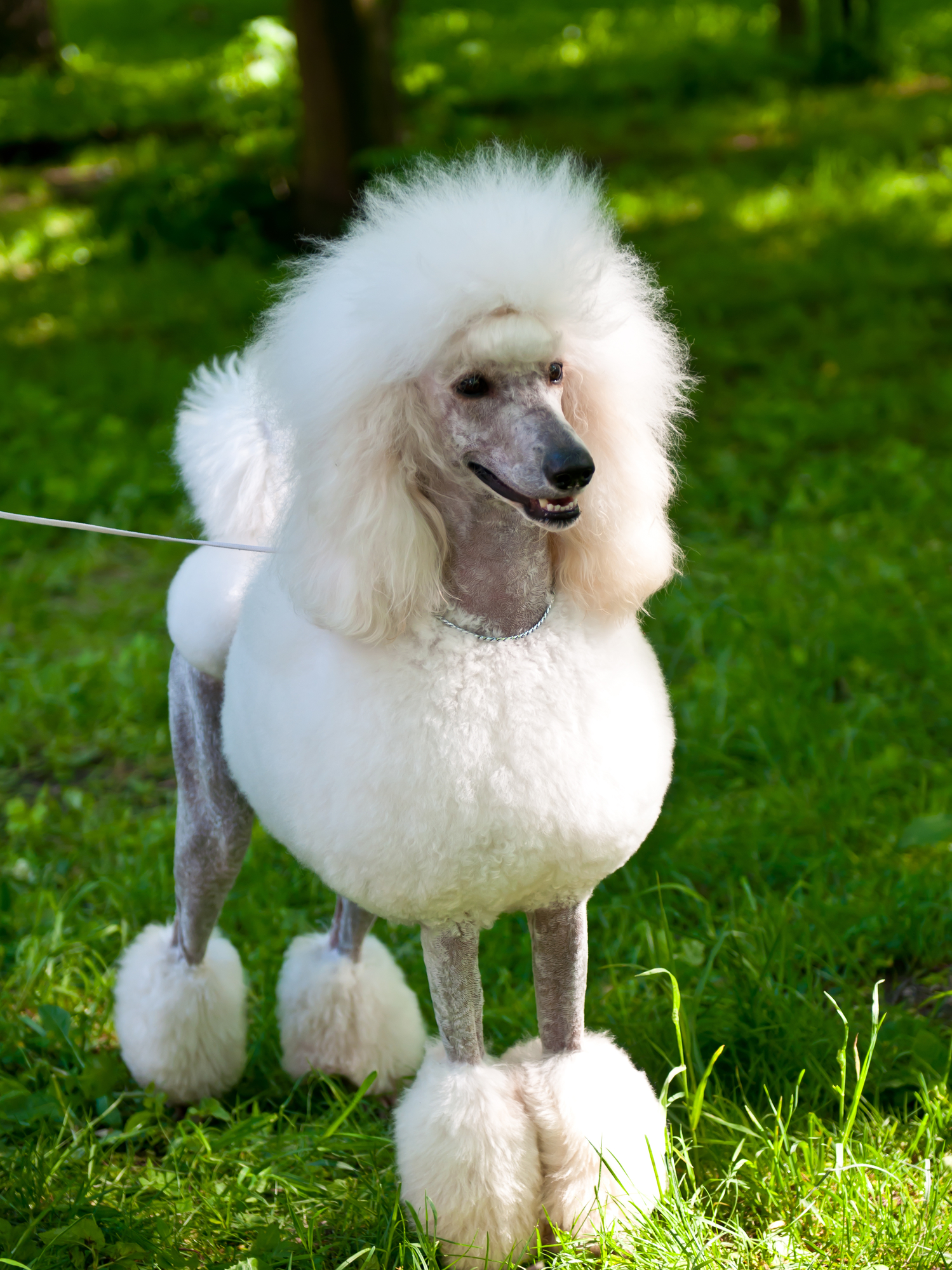 Top 5 Grooming Styles For Poodles Ty D Paws Express Lincoln