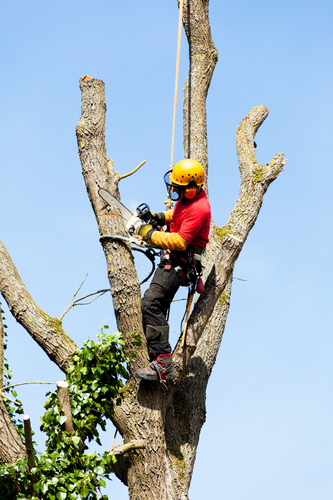 Kalispell, MT tree pruning