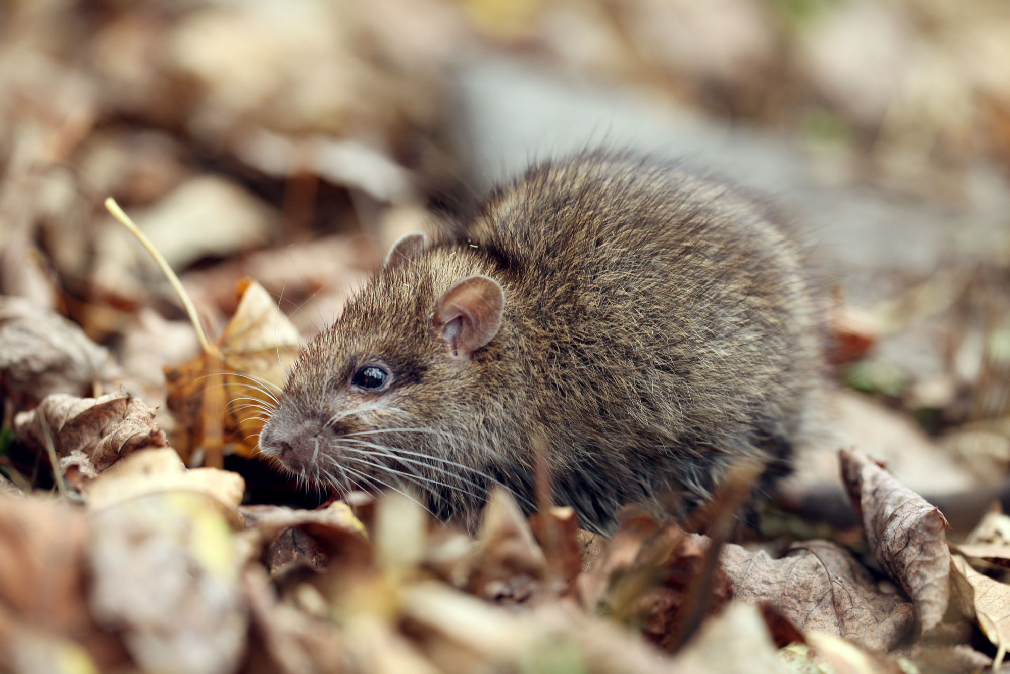 Pest Control Experts Share 3 Signs You Have a Rodent