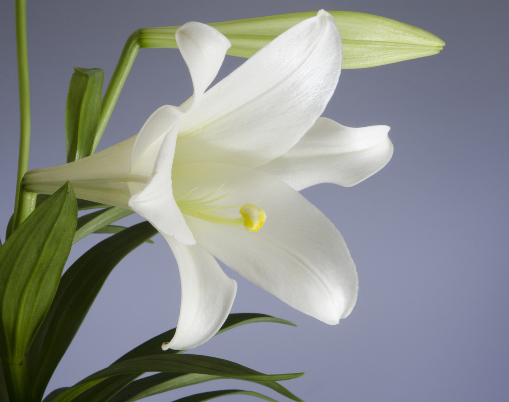 Local Veterinarians Explain How Easter Lilies Can Harm Your Cat