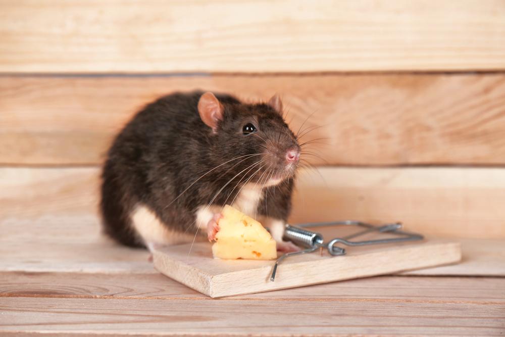 Картинки по запросу WHAT ARE THE BEST RAT CONTROL METHODS?