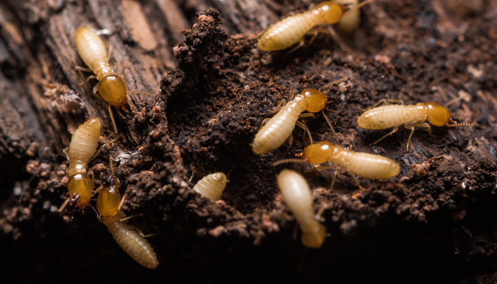 How To Protect Your Home Against Termite Swarms This