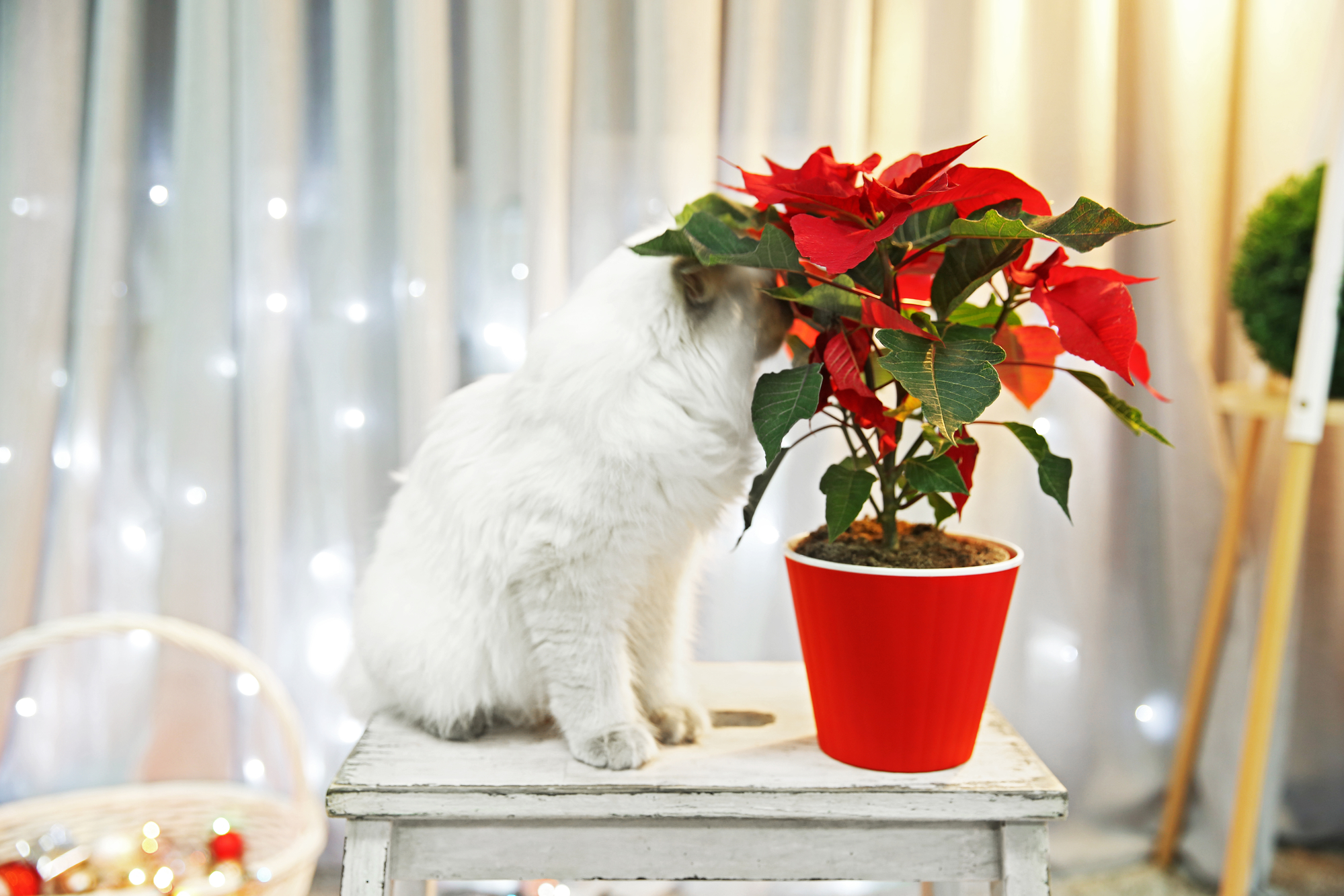 What Holiday Plants To Keep Away From Pets - Dells Animal Hospital ...