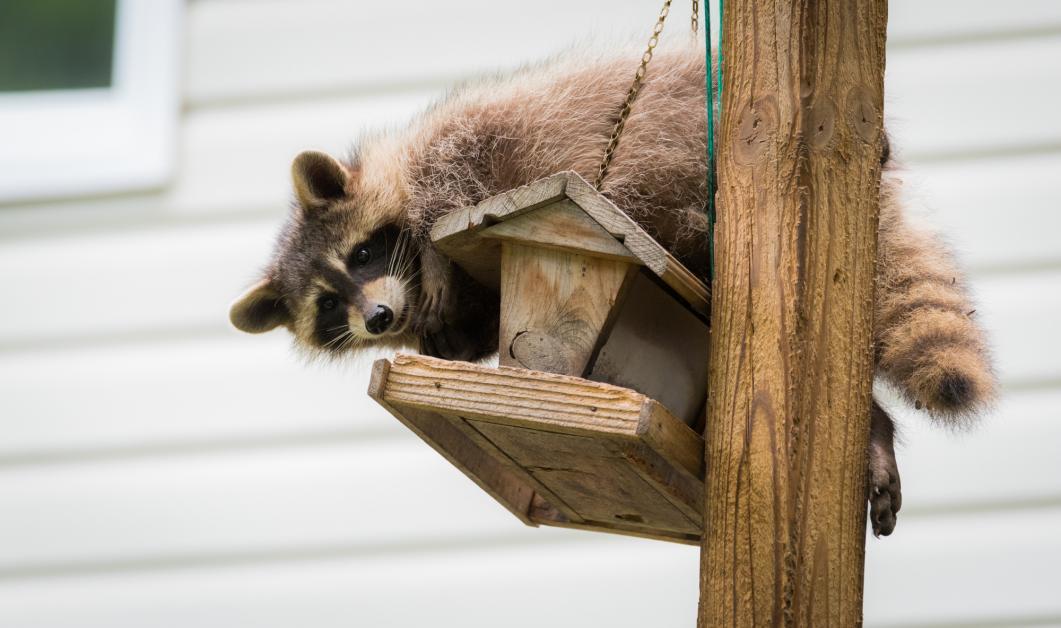 4 Tips for Keeping Raccoons Away From Bird Feeders ...