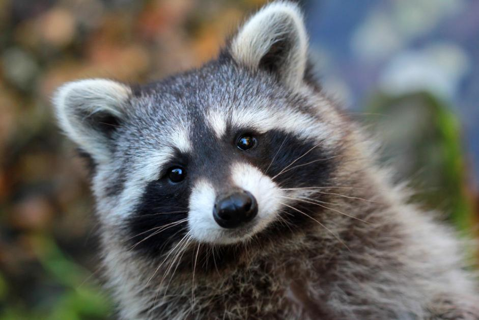 Raccoon Control: How t...