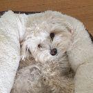 Maltipoo Lover, Dog Training, Bloomington, Minnesota