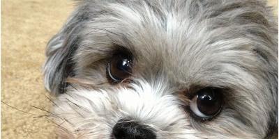 shiht zu poodlle puppies, Manhattan, New York