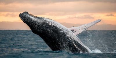 4 Whale Watching Tips to Remember, Ewa, Hawaii
