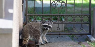 Want a Pet Raccoon? Here's Why That's a Bad Idea, New Milford, Connecticut