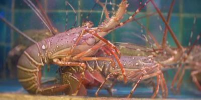 3 Fun Facts About Lobsters, Ewa, Hawaii