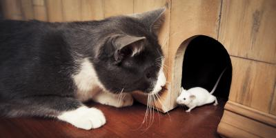 The Difference Between a Mouse & Rat Infestation Explained, New Milford, Connecticut