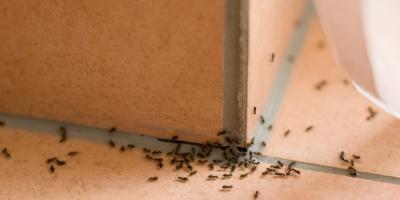 Pest Of The Week: Odorous House Ant, Amelia, Ohio