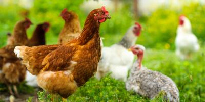 3 Convincing Reasons to Raise Chickens , Whiteville, Arkansas