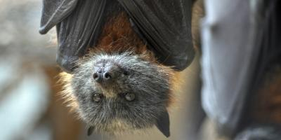 How to Remove a Bat From Your Home, Miami, Ohio