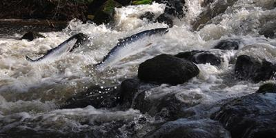 7 Facts About Chinook Salmon, Juneau, Alaska