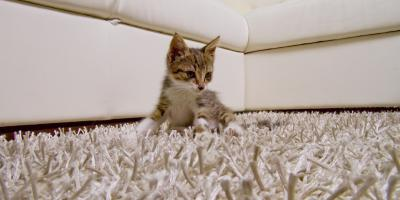 What Is the Best Carpeting for People With Cats?, Lexington-Fayette, Kentucky