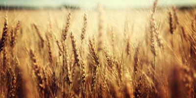 Why Wheat Is Such a Valuable Crop, Beatrice, Nebraska