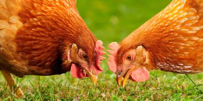 What You Should Know About Using Organic Feed for Chickens, Bethel, Ohio