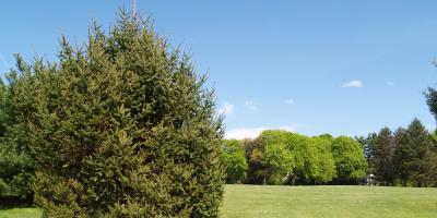 Is Your Evergreen Brown on Top? Follow This Tree Care Advice!, La Grange, New York