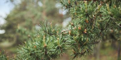 3 Benefits of Pine Straw Mulch, Burlington, Kentucky