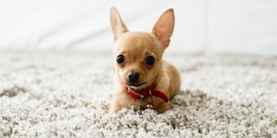 Carpet Cleaning Experts Explain 3 Common Pet Odor Removal Errors, High Point, North Carolina