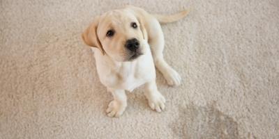 3 Ways to Keep a Dog From Urinating on the Carpet, Kalispell, Montana