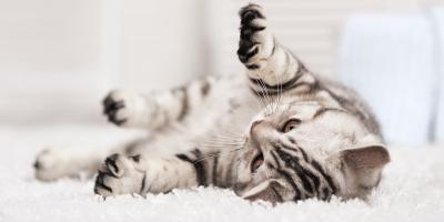 What's the Best Type of Carpeting for Cats?, Colerain, Ohio