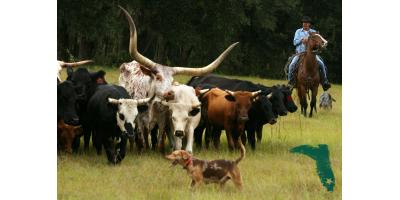 An Introduction to Florida's Cattle Ranching History, Brooksville, Florida