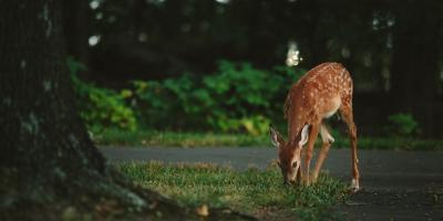 Middletown's Collision Repair Pros Offer 3 Tips for Avoiding Deer on the Road, Middletown, Ohio