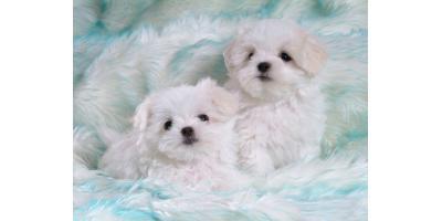 puppy for sales , Manhattan, New York