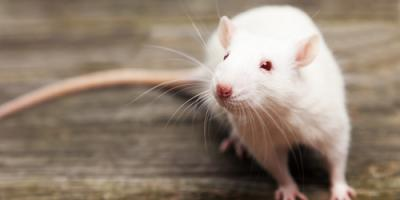 3 Telltale Signs You Have a Rodent Infestation , Ewa, Hawaii