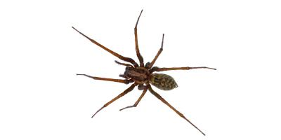 Essential Facts to Know About Hobo Spiders, Port Orchard, Washington