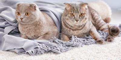5 Tips for Stopping Your Cat From Scratching the Carpet, Southeast Guadalupe, Texas