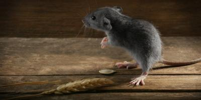 How to Tell If You Have Mice in Your Home, Rochester, New York