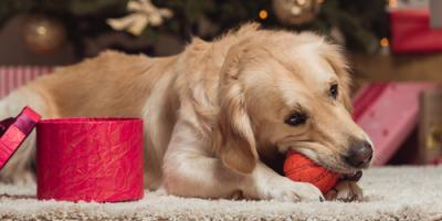 Veterinarians Explain How to Prevent Pancreatitis in Pets During the Holidays, Wentzville, Missouri