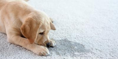 How to Avoid Staining the Carpet, Lahaina, Hawaii