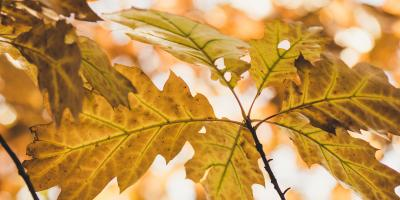 Common Questions About Iron Chlorosis in Trees, Marshan, Minnesota
