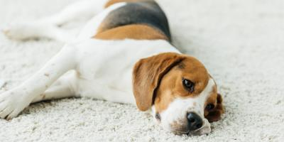 How to Protect Your Carpet From a New Dog, Warren, Indiana