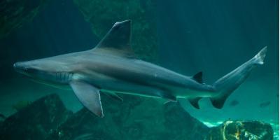 3 Reasons Sharks Are Important, Waialua, Hawaii