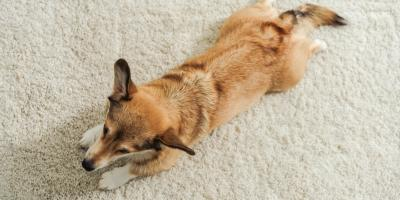 3 Ways to Puppy-Proof Your Carpet, Brownstown, Pennsylvania