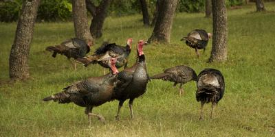Going Turkey Hunting? 5 Rookie Mistakes You Should Avoid, Winchester, Tennessee