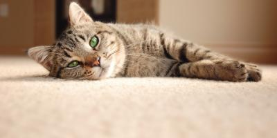 3 House Cleaning Tips for Cat Odors, Seattle, Washington