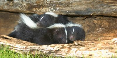 Wildlife Removal Experts Explain 4 Ways to Protect Pets from a Skunk Encounter , Miami, Ohio
