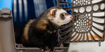 How to Train Your Ferret to Use a Litter Box, Shelby, Wisconsin