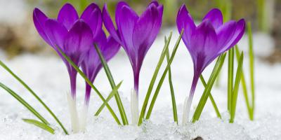 5 Types of Early Blooming Spring Bulbs, Anchorage, Alaska